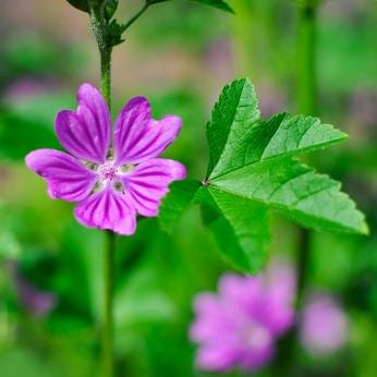 La mauve, fleur des champs, serait l'origine du mot malachite