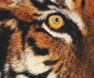 Œil d'un tigre (fauve)